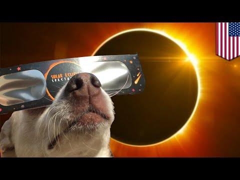 Tindakan aneh hewan saat gerhana matahari total Amerika - TomoNews