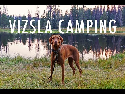 Camping With My Vizsla | Video 108