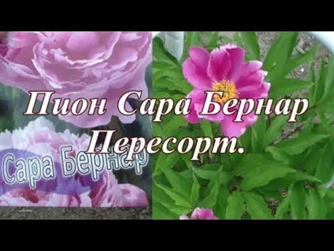 ПЕРЕСОРТ . ПИОН САРА БЕРНАР . Небольшой обзор цветов в июне.