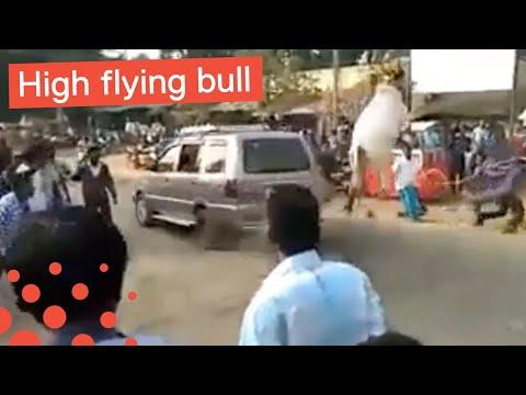Charging Bull Jumps into Man