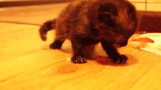 Маленькая кошка ест и злится