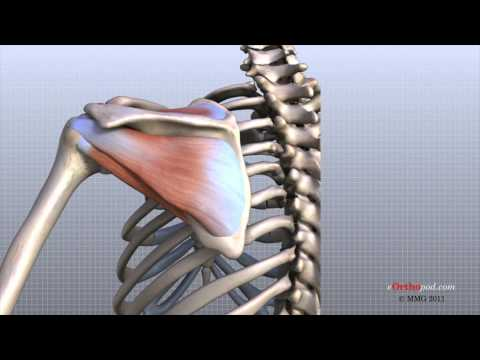 Shoulder anatomy video