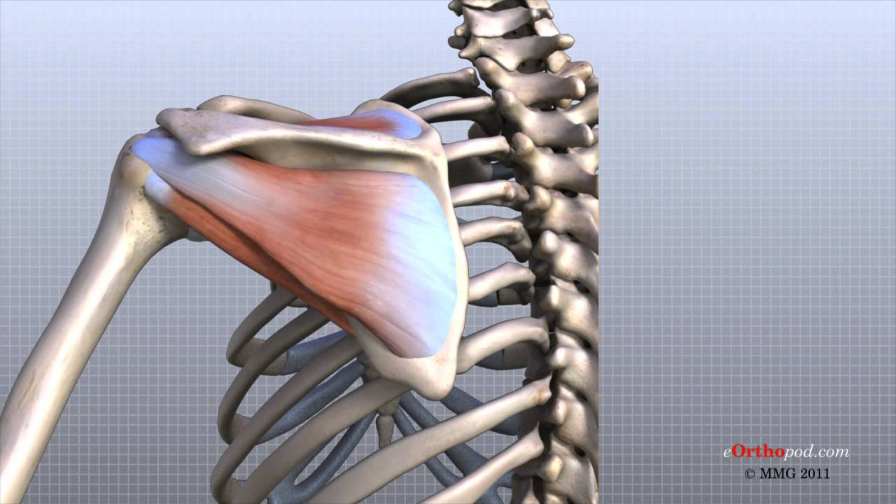 Shoulder Anatomy Animated Tutorial - YouTube