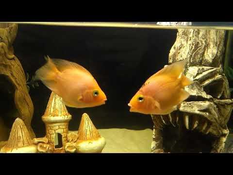 Трёхгебридные попугаи целуются