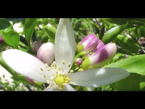 Neroli Essential Oil  Distilled Sun Captured By Flowers  with David Crow of Floracopeia