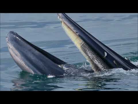 Bryde's Whale - Behavior