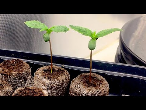 Autoflower Cannabis Seedling Time Lapse (Day 1 – 12)