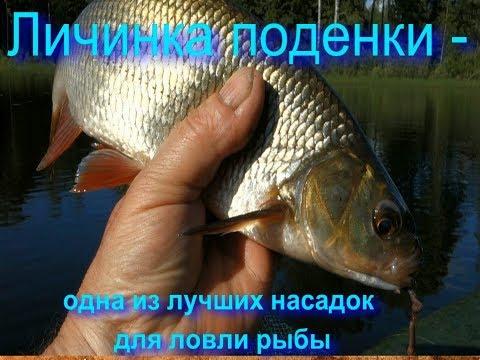 Личинка поденки - одна из лучших насадок для ловли рыбы