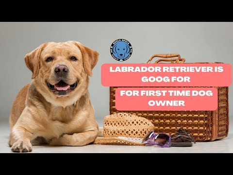 Pet Care - Labrador is good for first time dog owner - Bhola Shola