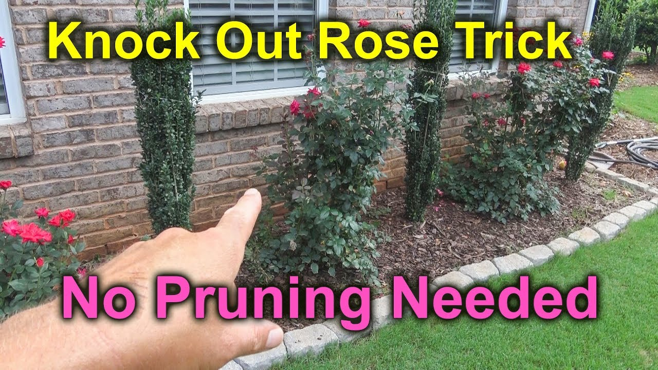 How To Prune Knock Out Rose Roses Falling Over