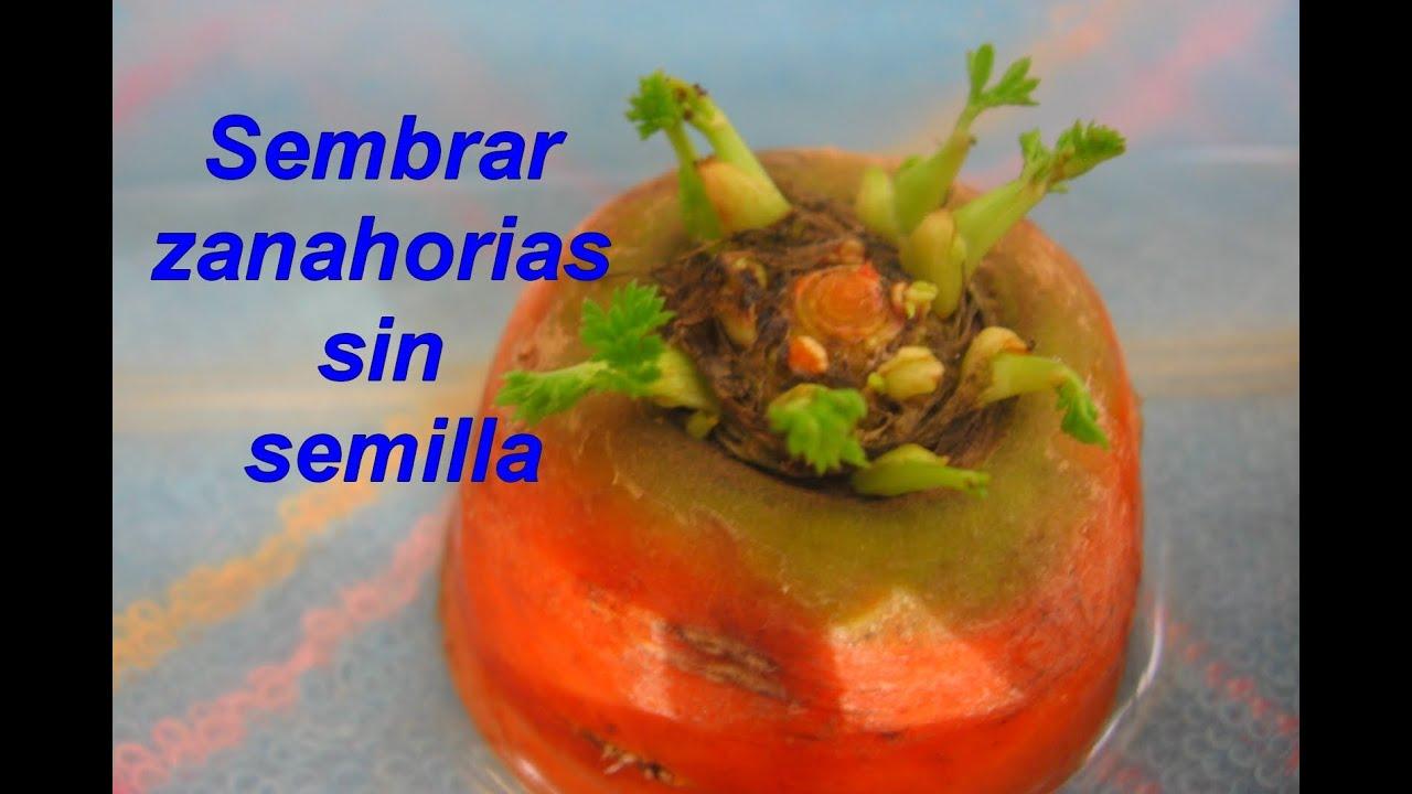 Como sembrar zanahorias sin semillas youtube for Plantar hortensias semillas