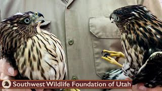 Sibling Hawks Rescued from City Park