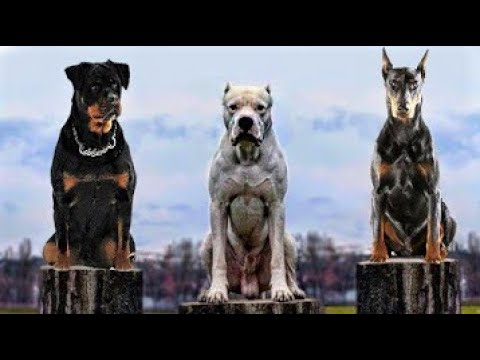 Top 10 Mascular Dog Breeds In The World