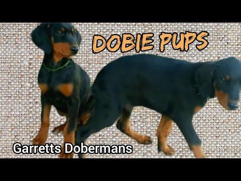 11 week old Doberman Pups