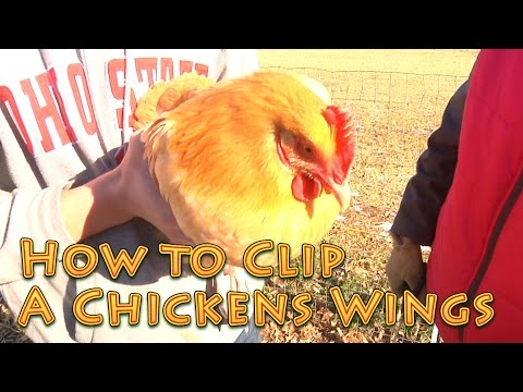 How To Clip A Chicken's Wings