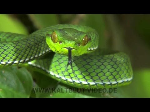 Snakes of Siberut Island, Ular Indonesia