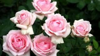 Download Розовые розы Светке Соколовой Mp3 and Videos