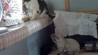 кот и сурок. будни