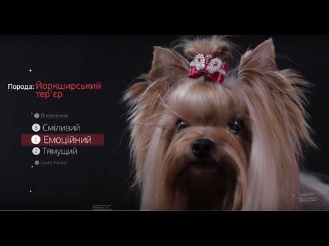 Йоркширский Терьер ➠ Узнайте все о породе собаки