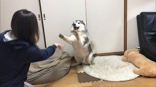 カメラ三脚を手に入れた飼い主に付き合わされるシベリアンハスキー thumbnail