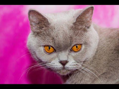 Чем кормить беременную британскую кошку?