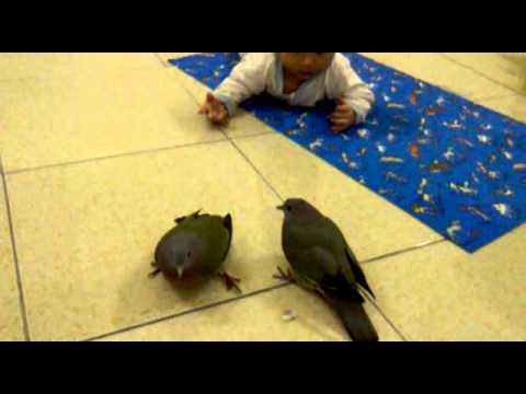 chim cu xanh chơi với em bé.mp4