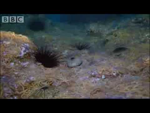 Army of Sea Urchins - Planet Earth - BBC Wildlife