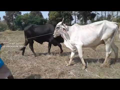 Top !!! Cách phối giống cho bò 10 - Cow Mting - Bò Nọc Trại Bò QUỐC HÙNG