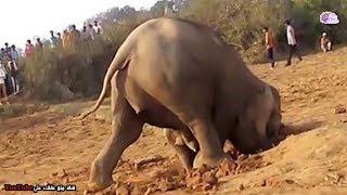 فيل أنثى تحفر الارض 11 ساعة متواصلة -  السبب سيذهلك !!