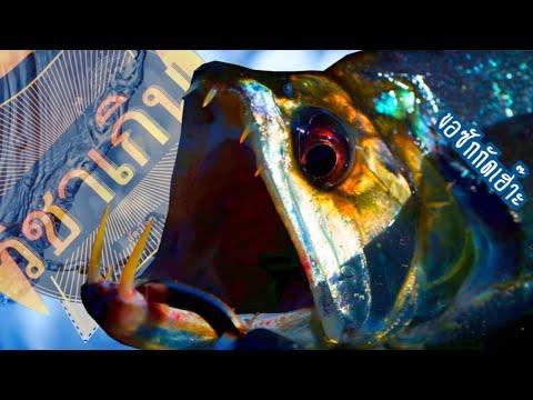 สารคดี วิชาเกินสัตว์โลก [season4] ep.26 ปลาแวมพาย ขอกัดคอซักทีดิ๊!