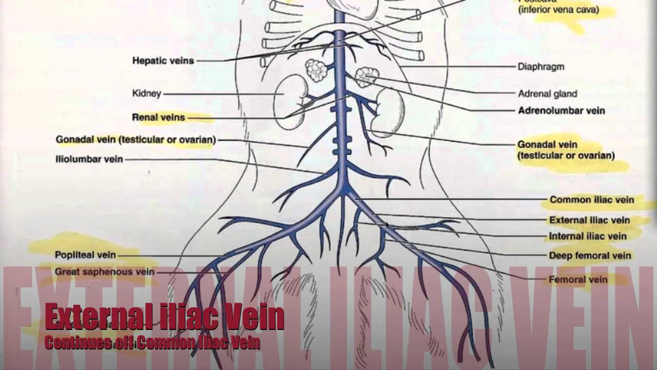 hight resolution of lower body diagram