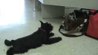 Chihuahua Vs. Mini Schnauzer