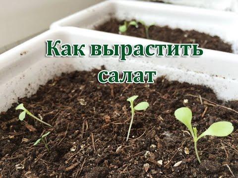 САЛАТ - как посадить и вырастить салат дома