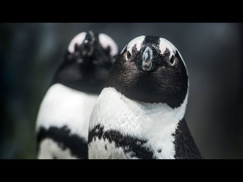 Live African Penguins - Monterey Bay Aquarium
