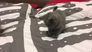 Русские голубые котята. Русская Голубая кошка. Питомник Ruzara