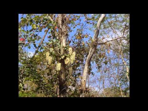 Trohbu garden -Buon  Don -Viet Nam wild orchid conservation
