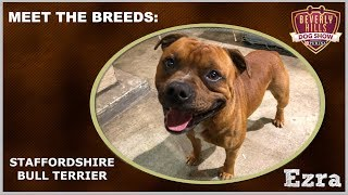 The Beverly Hills Dog Show: Meet The Breeds - Staffordshire Bull Terrier