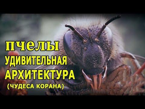 Медовые пчелы -