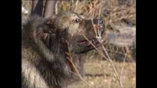Про породу собак - Кавказская сторожевая или среднеазиатская овчарка