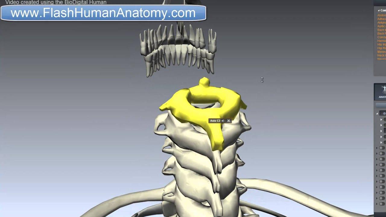 Axis Anatomy - Vertebral Column Anatomy - Neck Anatomy - YouTube