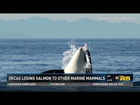 Orcas losing salmon to other marine mammals