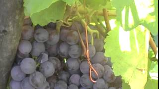 видео Агат донской (виноград): описание, отзывы