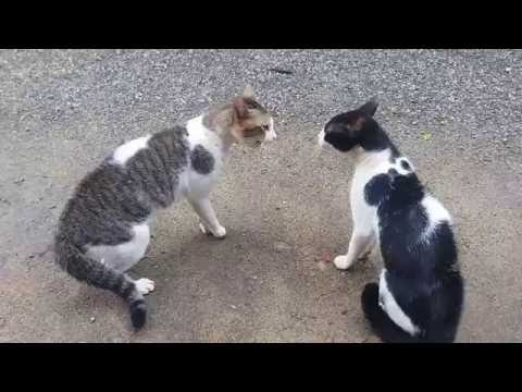 Cats Fighting - Exclusive Video (Play with full sound)