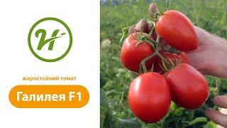 Жаростойкий  томат ГАЛИЛЕЯ F1 / GALILEA F1 Отзыв