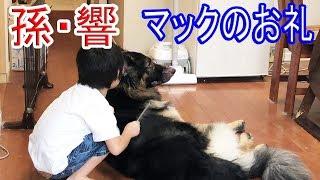 grandchild and #GermanShepherd #dog #大型犬・#ジャーマンシェパード...
