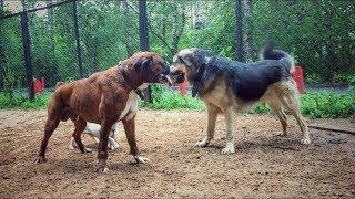 Собаки на площадке озабочены кастрированным псом