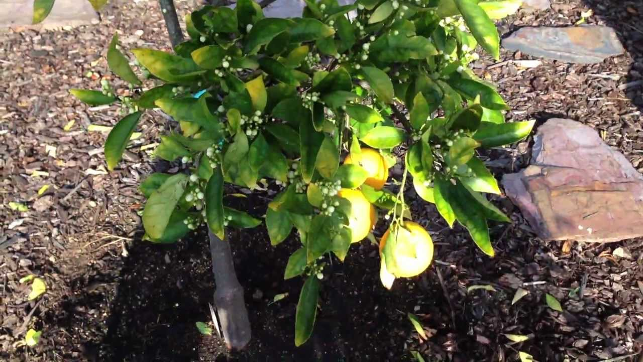 backyard fruit tree and citrus garden tour in san diego ca iphone