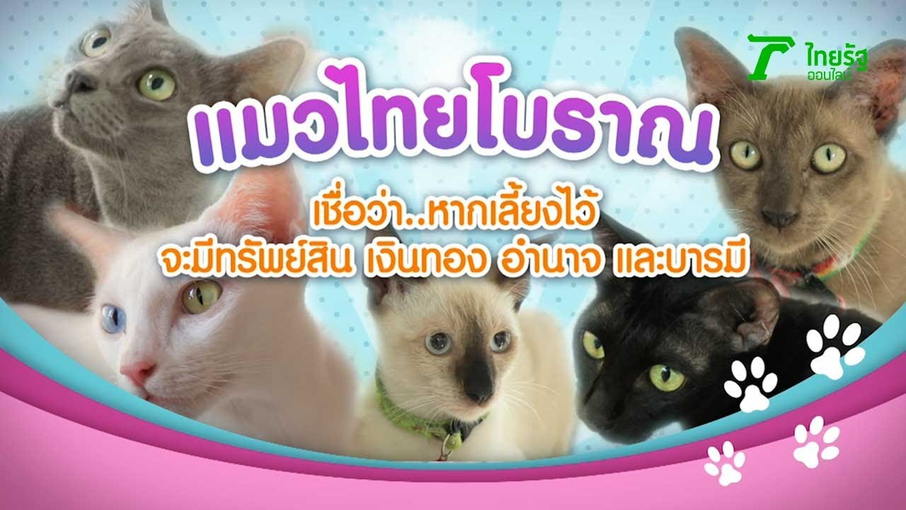 5 แมวไทยโบราณ เชื่อว่า หากเลี้ยงไว้ จะมีทรัพย์สิน เงินทอง อำนาจ และบารมี | 04-07-63 | ตะลอนข่าว