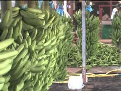 La production de Banane de Guadeloupe & Martinique