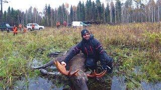 Охота на лося с лайками 2017